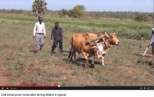 Draft animal power conservation farming initiative in Uganda