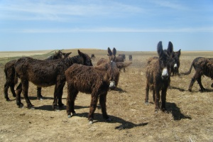Donkey Husbandry and Production Systems